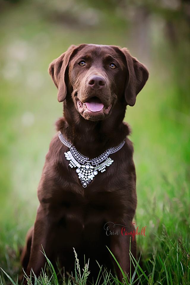 Chocolate Labrador Retriever Puppy Dog Erin Campbell Dog
