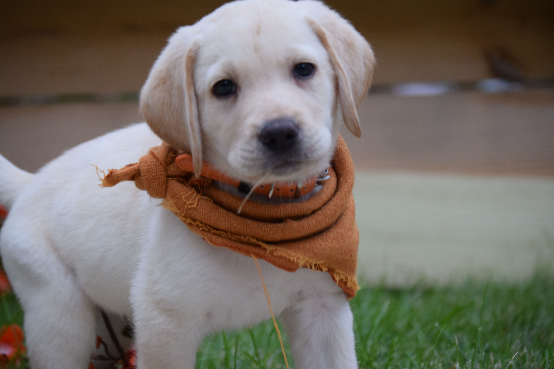 Breed Labrador Retriever Gender Male Registry Non
