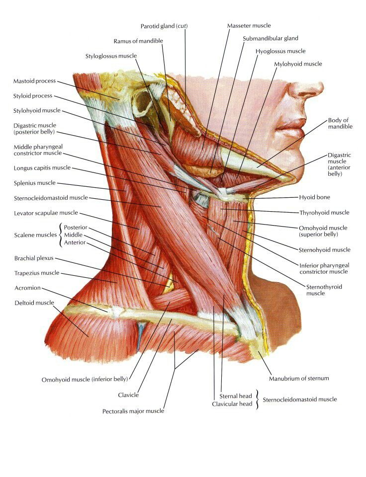 Neck Muscles | Anatomy, Physiology, and Pathology | Pinterest ...
