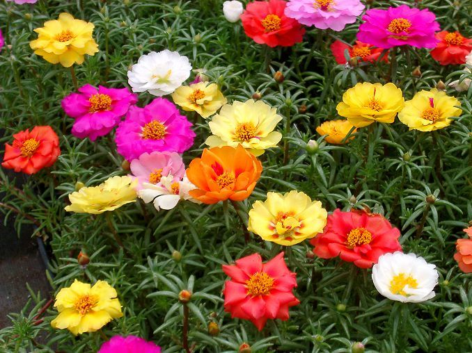 22 Best Flowers For Full Sun Heat Tolerant Flowers For Containers Heat Tolerant Flowers Full Sun Flowers Container Gardening Flowers