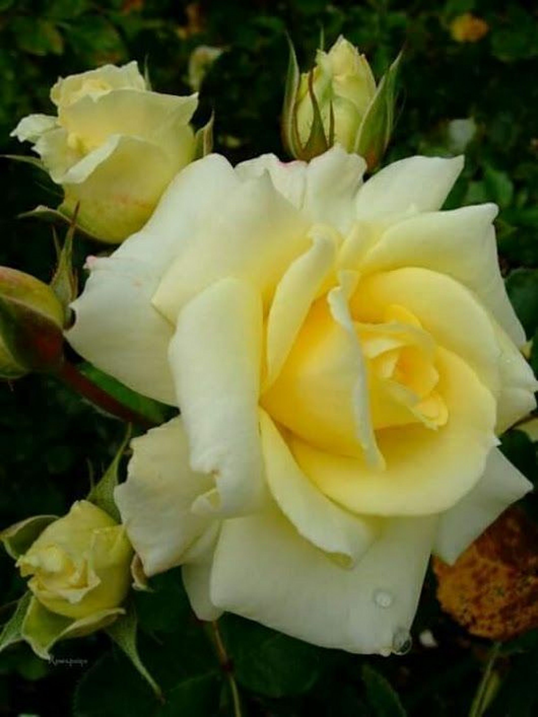Pin By Janet Jacob On Roses Pinterest Flowers Rose And