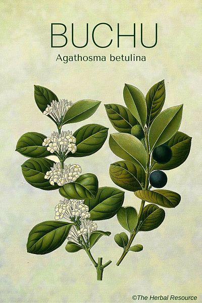Buchu Health Benefits And Side Effects Herbalism Herbal