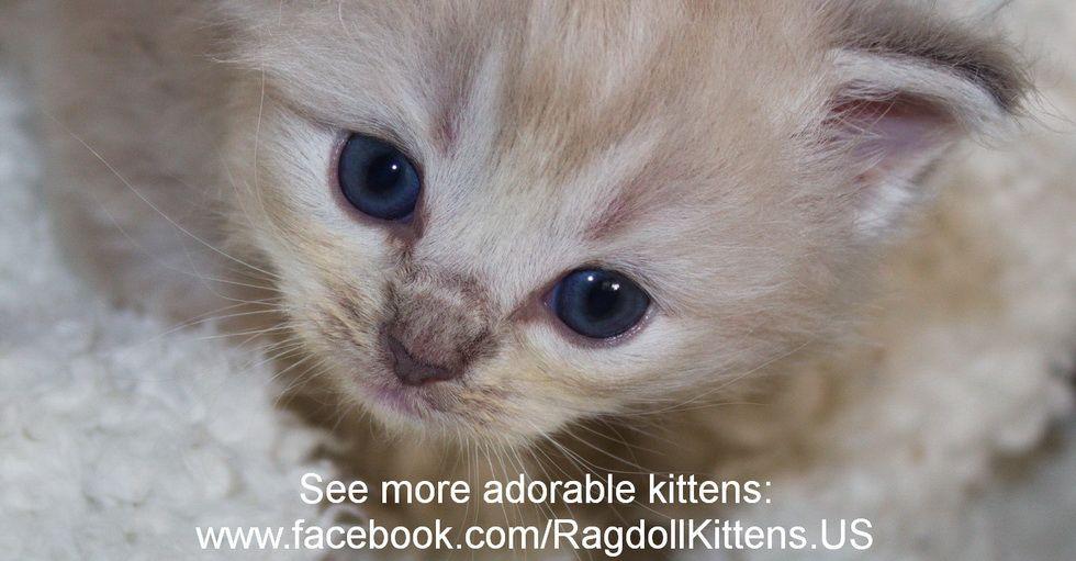 Seal Lynx Point Mink Ragdoll Kitten At 3 Weeks Old Cute Baby Cats Baby Cats Ragdoll Kitten