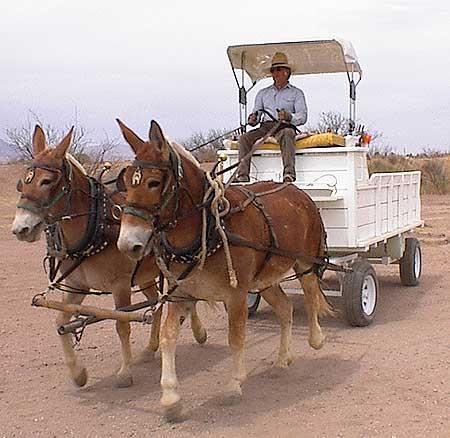 Majestic animals, Horses, Draft mule