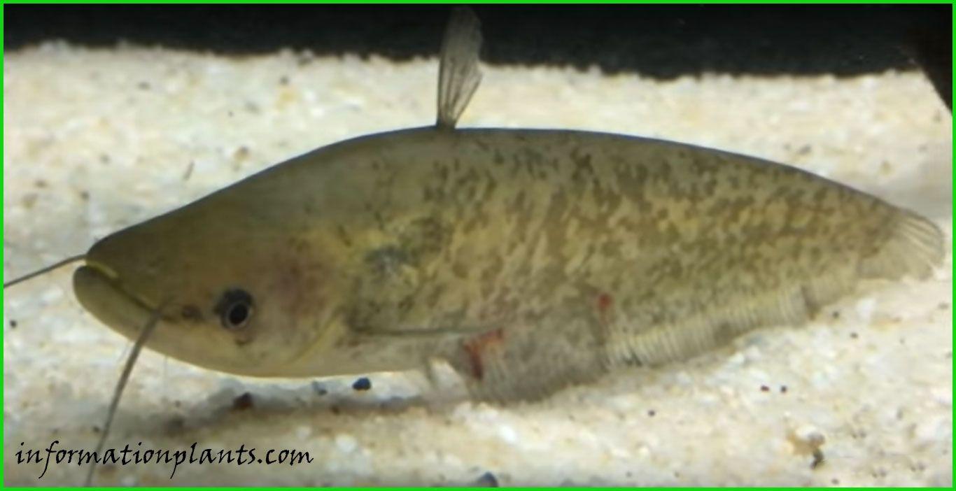 امبوك سلوري Ompok Siluroides قسم انواع الاسماك انواع الاسماك انواع الاسماك مع الصور الموقع الزراعي ومنوعات اخرى Fish Pet Pets Fish