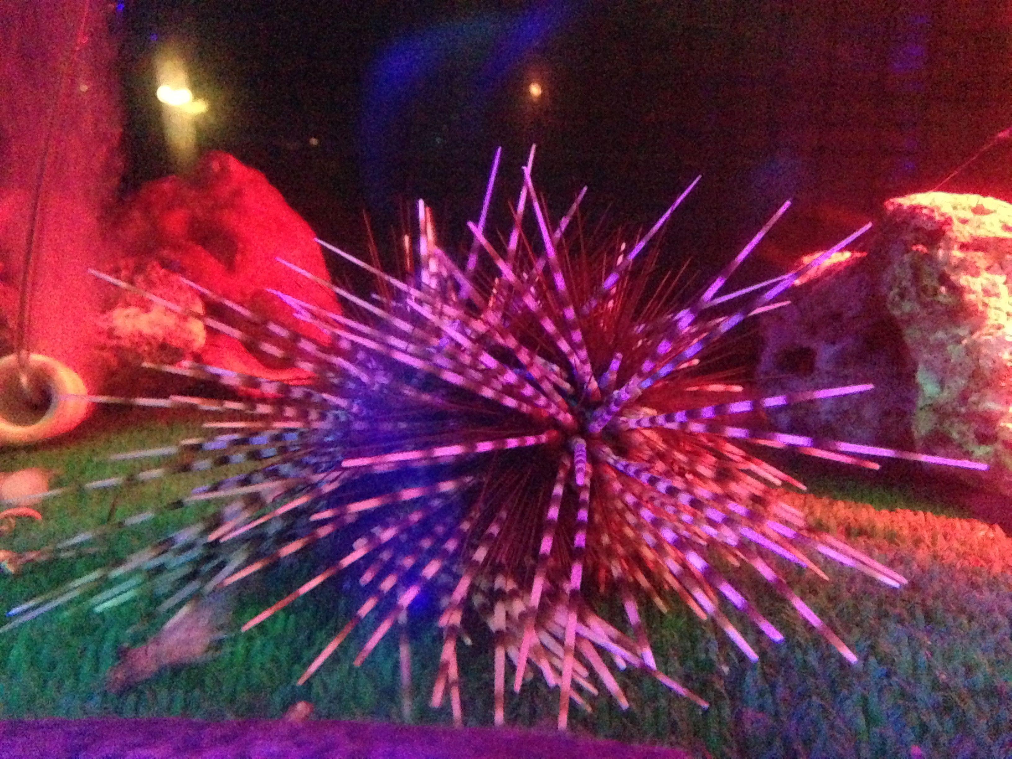 exotic sea urchin