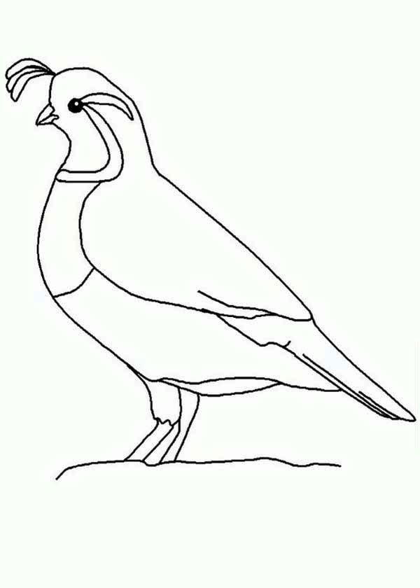 Quail Quail Outline Coloring Page Bird Drawings Quail