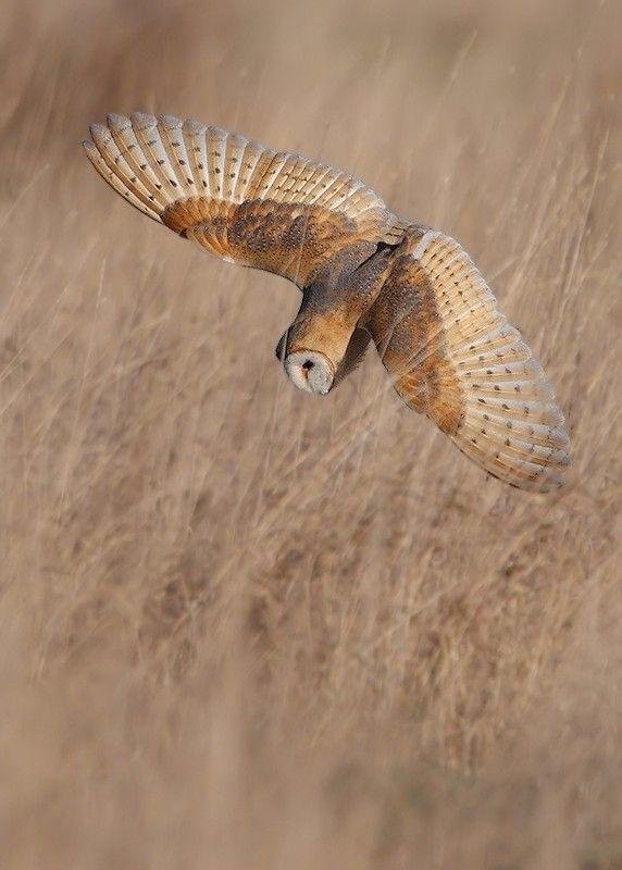 500px / Barn Owl by Karen Summers