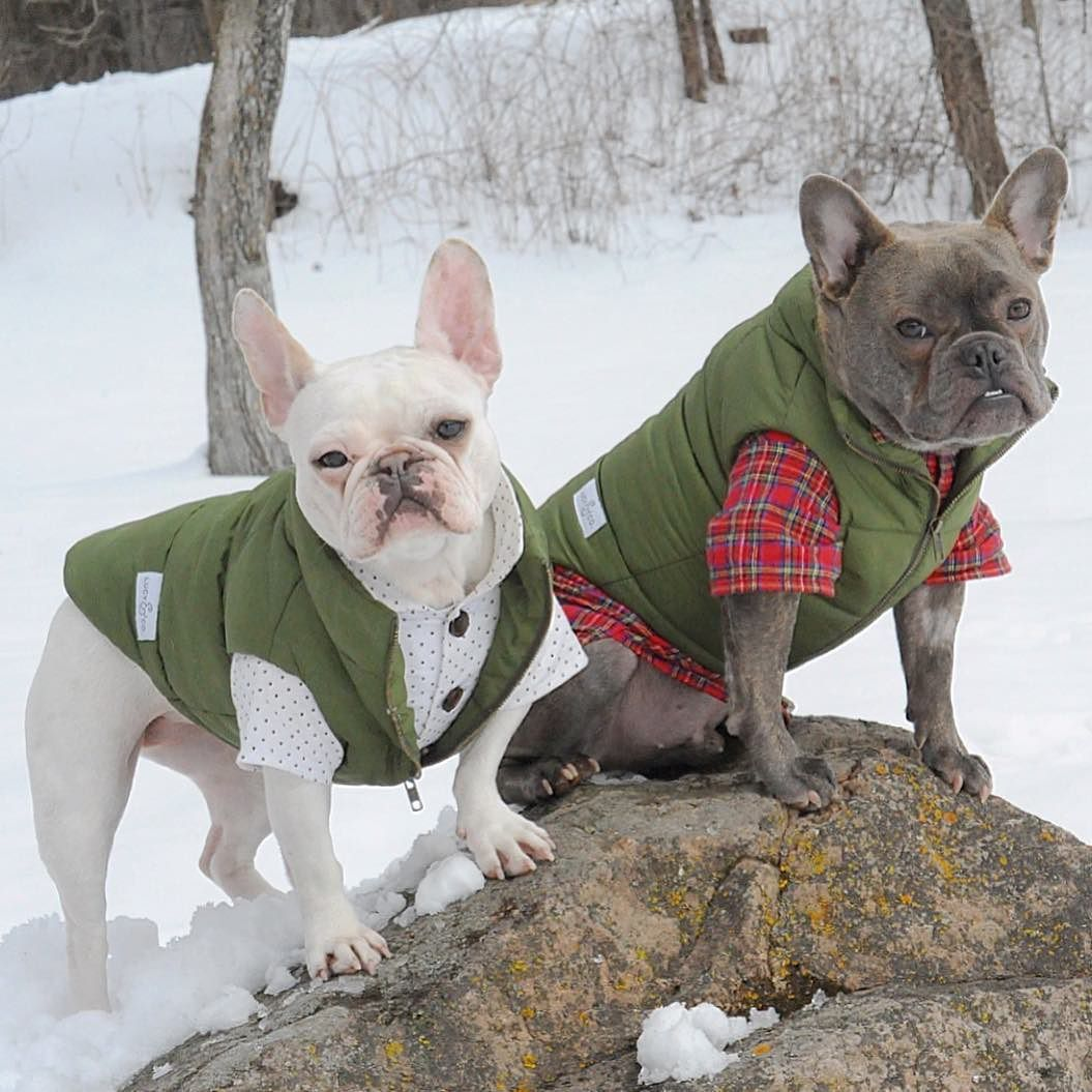 A new week.... A new adventure.  Let's go! French Bulldogs #dogmeetsdesign by threelittlefrenchies