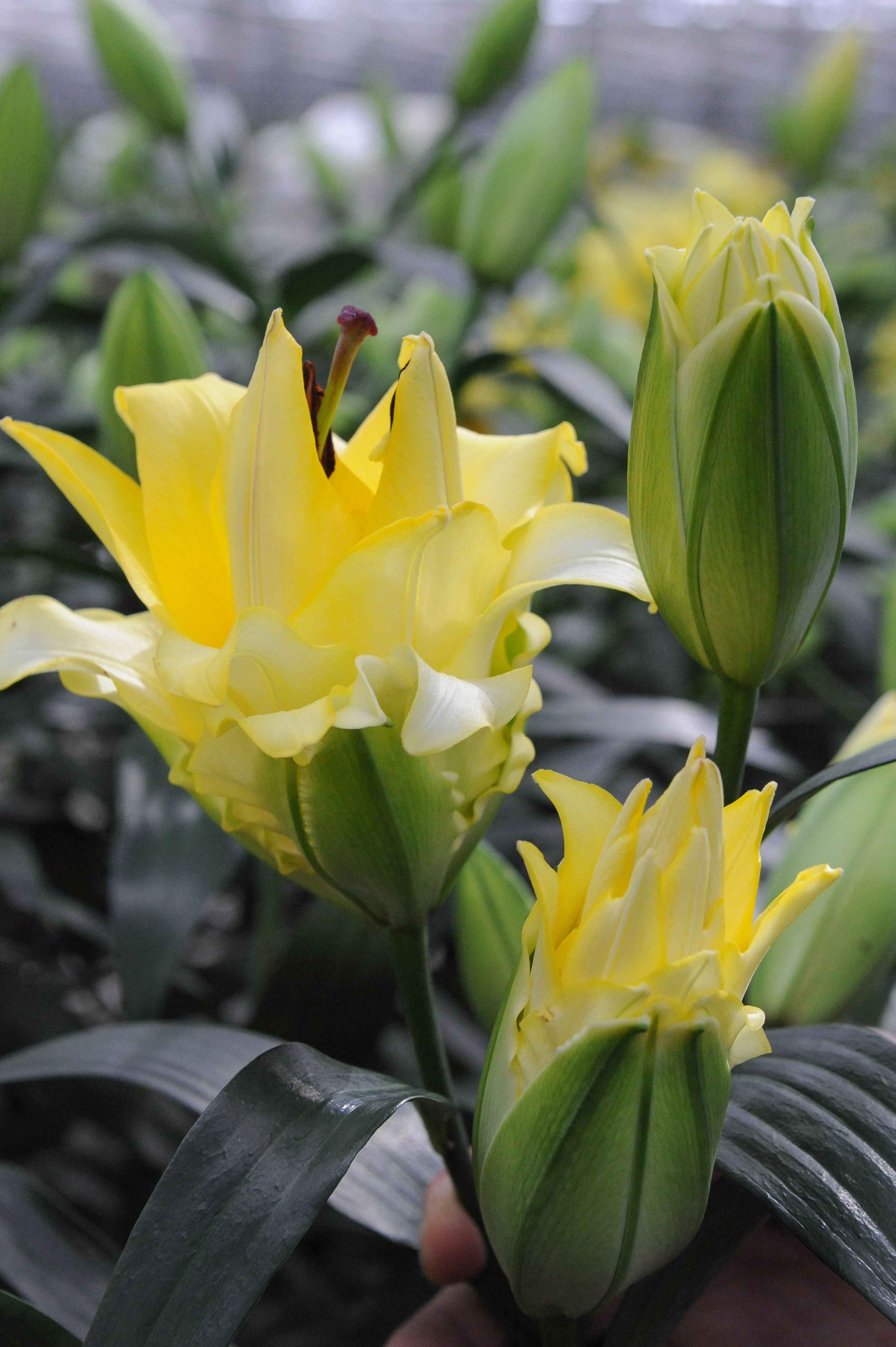 Lily Exotic Sun Lemon Yellow Flowers That Unfold Over A Few Days