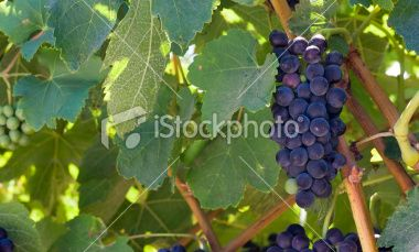 Grapes on the vine just before harvest time.