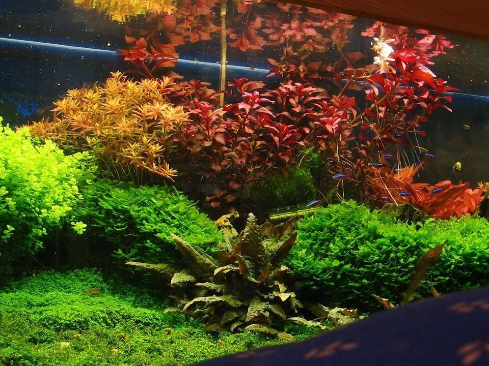 ludwigia repens rubin live aquarium plants java moss rotola ada aquascaping aquascape. Black Bedroom Furniture Sets. Home Design Ideas