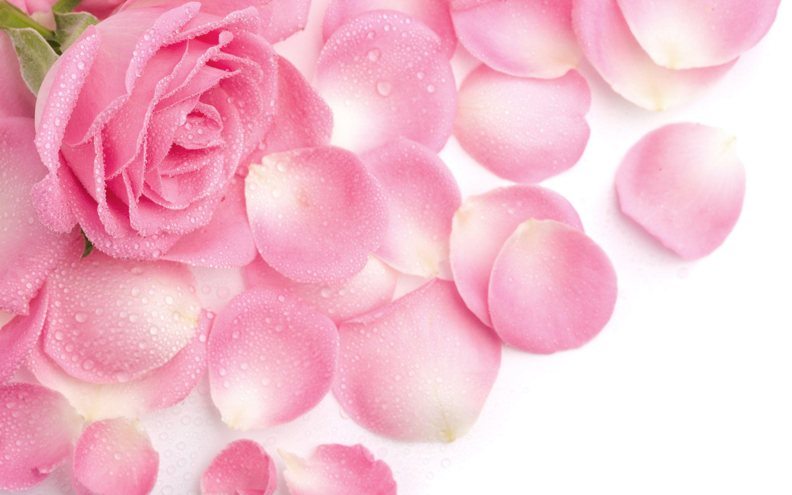 Beautiful Rose Petals Wallpaper Pink Rose Flower Pink Roses Background Rose Flower Wallpaper