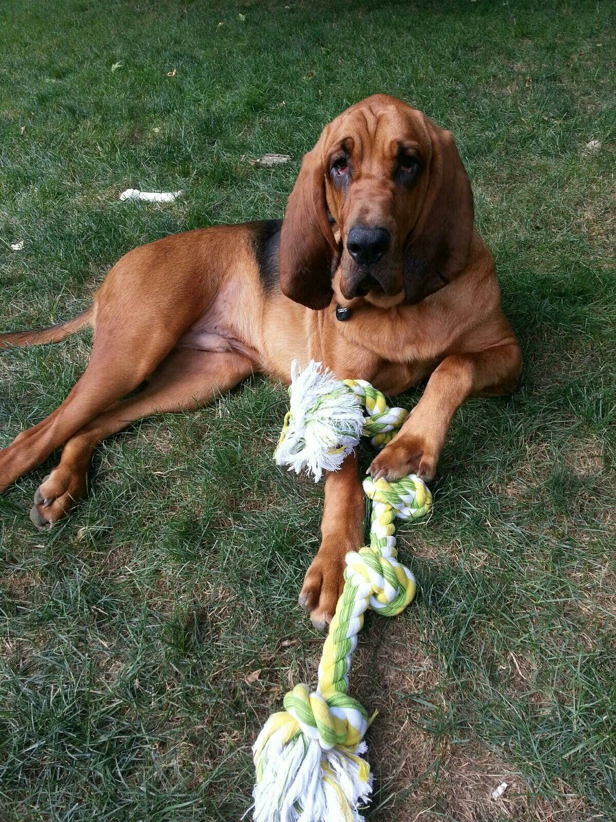 11 month old Bloodhound
