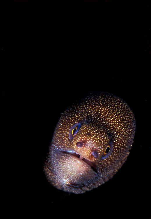 A Goldentail #moray #eel Marine creatures Pinterest Aquariums - marine biologist job description