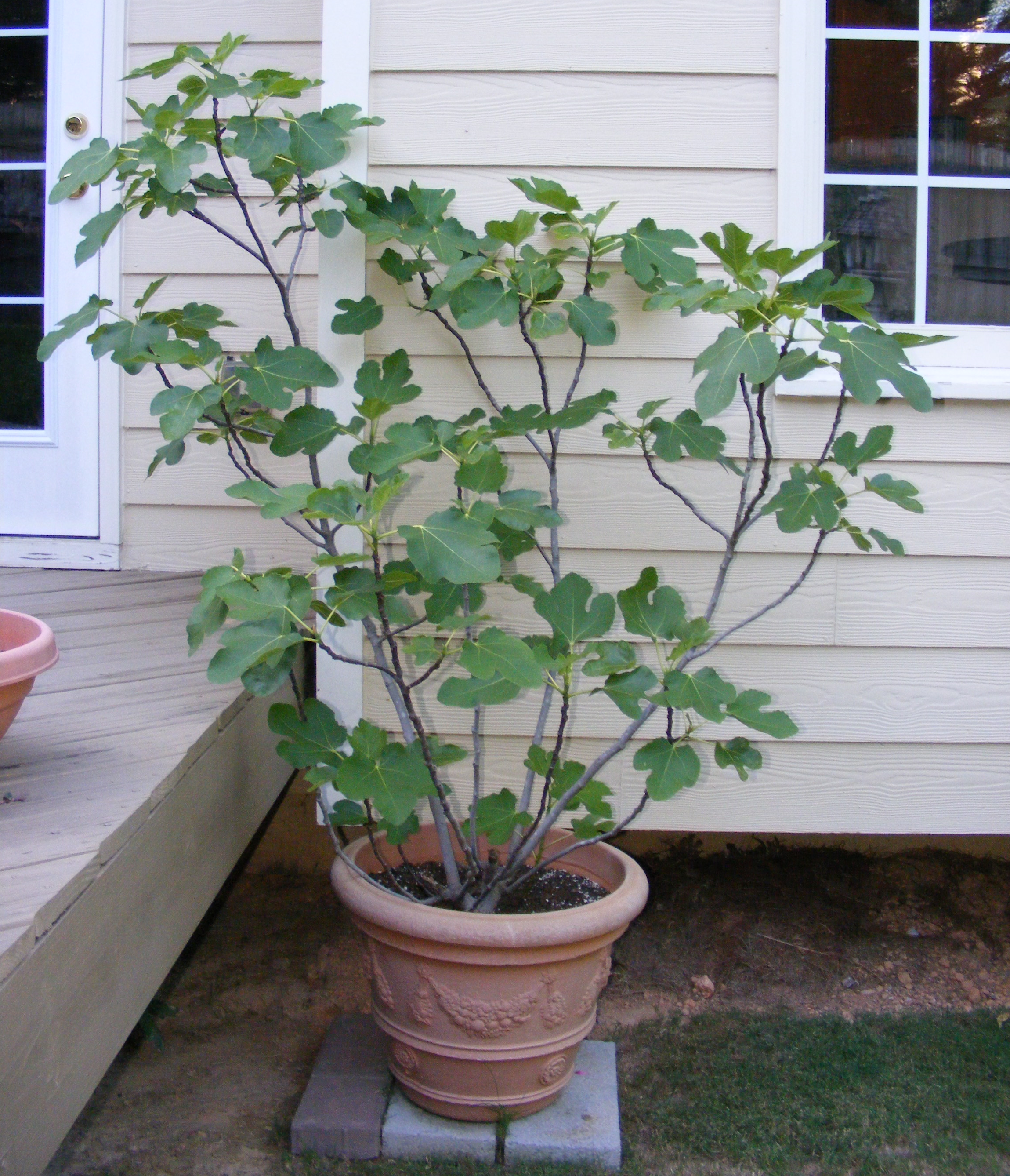 Fig Tree In Pot Google Search Potted Trees Growing Fig Trees Fig Tree