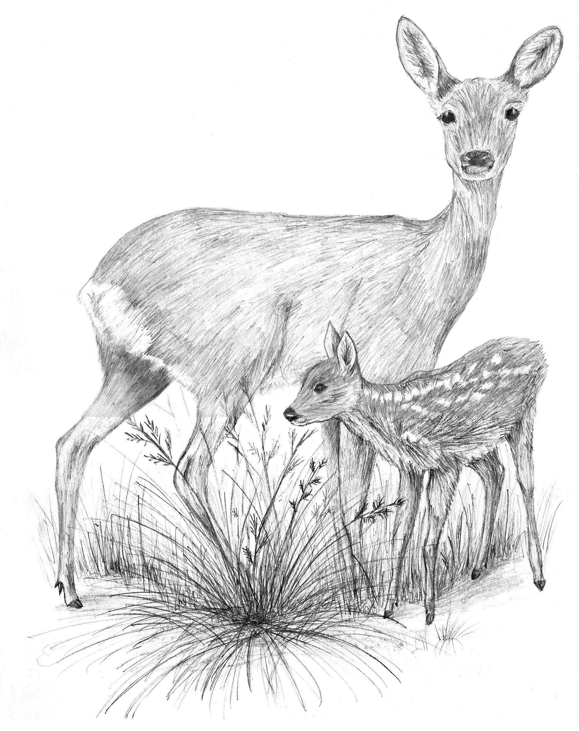 Line Drawings Of Animals Deer : Baby deer drawing tumblr pencil drawings
