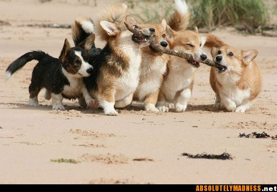 Corgis!! Oh for crying out loud...how cute!!