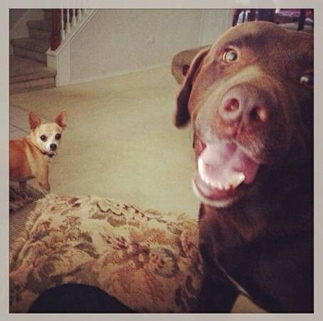 Craigslist Houston Pets Dogs