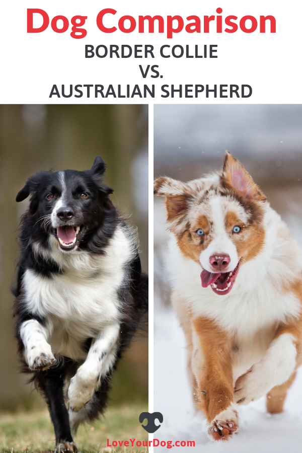 Border Collie vs. Australian Shepherd Breed Differences