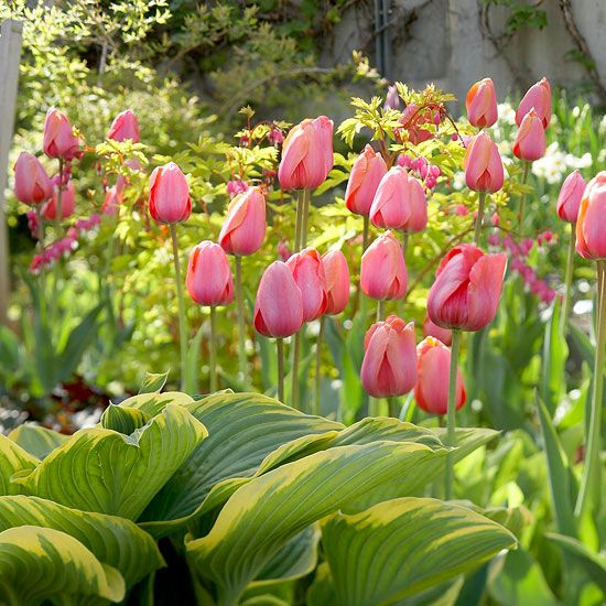 Top Tulips That Come Back Every Year With Images Flower Garden Tulips Plants