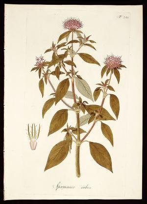 Plantarum rariorum horti caesarei Schoenbrunnen... (LINK=>DOWNLOAD IMAGE AND FREE DOWNLOAD FULL BOOK; PUBLIC DOMAIN)