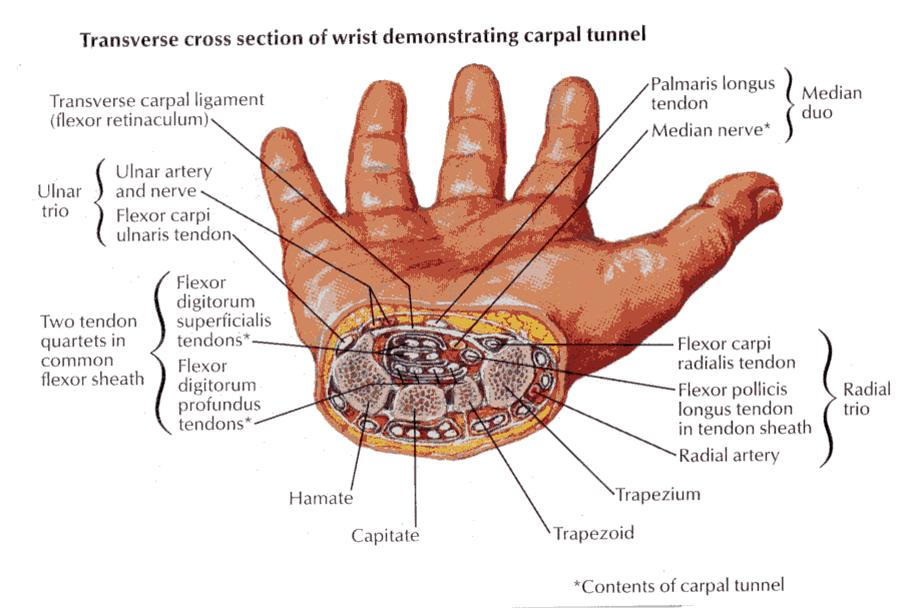 Pin by Allison Merkey on Anatomy | Pinterest | Carpal tunnel