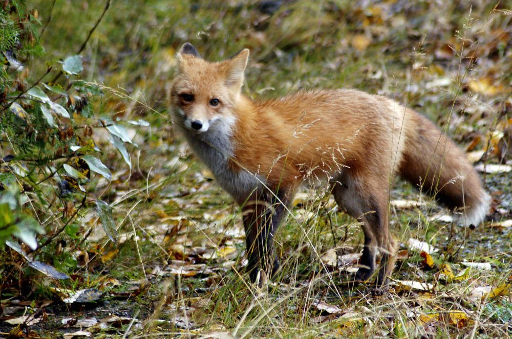 Foxes http://www.worldanimal.foundation/advocate/foxes