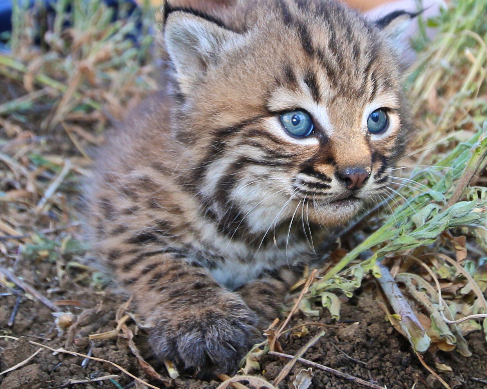 Bobcat Kittens B326 And B327 Bobcat Kitten Baby Bobcat Animals