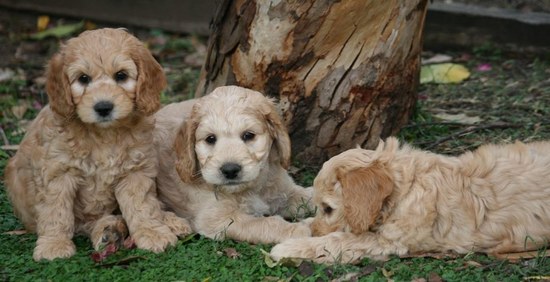 Slide One Labradoodle Labradoodle Puppy Puppies