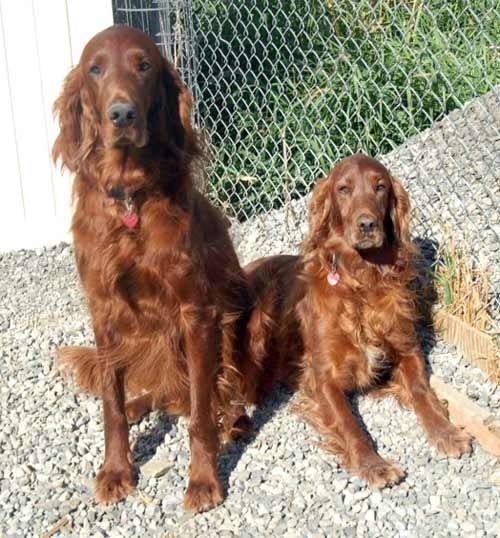 Irish Setter Puppies For Adoption Norcal Irish Setter Rescue Inc Setters For Adoption Irish Setter Irish Red Setter Irish Setter Puppy