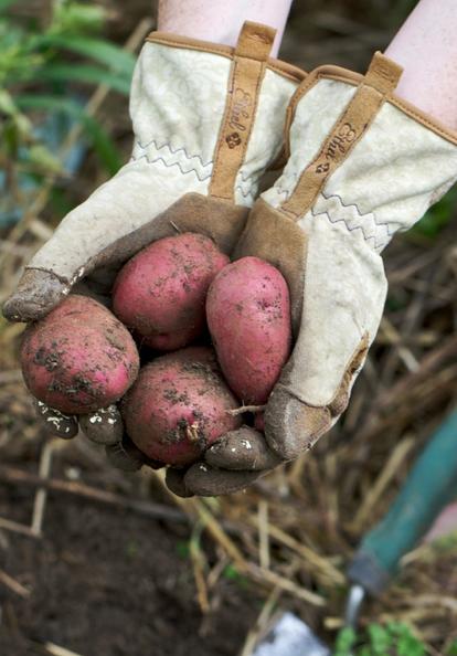 Sweet Country Life ~ Simple Pleasures ~ fresh potatoes !!