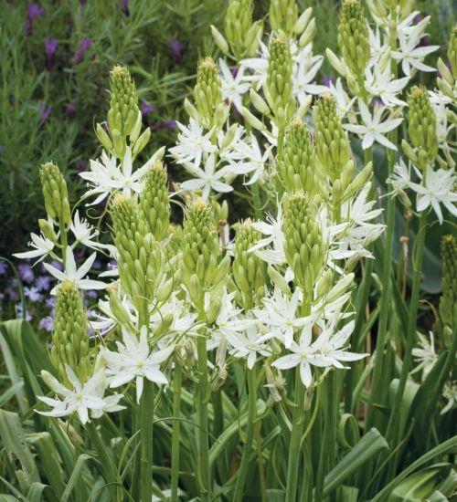 Camassia leichtlinii alba spring flowering bulbs creamy white and camassia leichtlinii alba spring flowering bulbsspring mightylinksfo