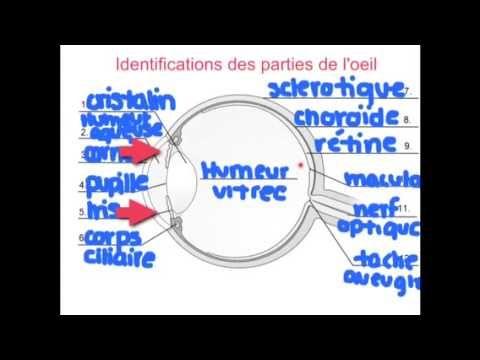 Science- L'oeil et son anatomie
