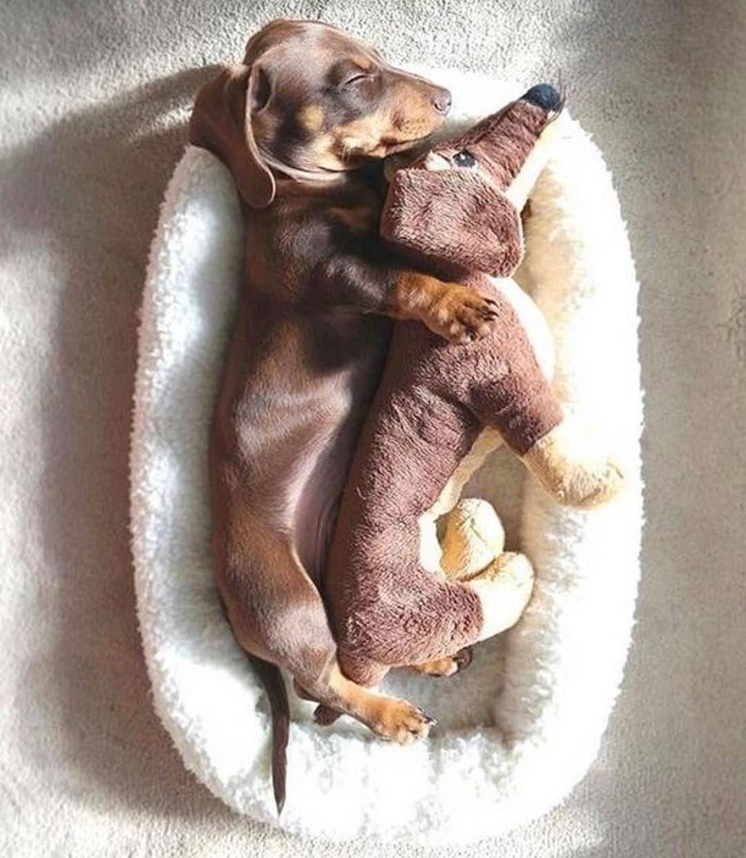 """Dogs with Style on Instagram: """"Cuddle time 😴 @ralphthechocolatesausage #dachshund #sausagedog #sleep #dogbed #sunday #weekend #dognap #snoozedog #sleepingdog #dogs…"""""""