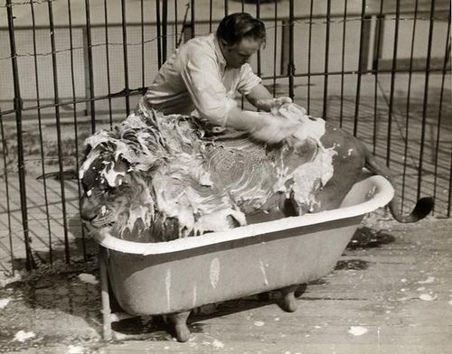 Circus Lion in a Bathtub  A circus lion, covered by soapy lather, is bathed in a free-standing bathtub inside a cage.