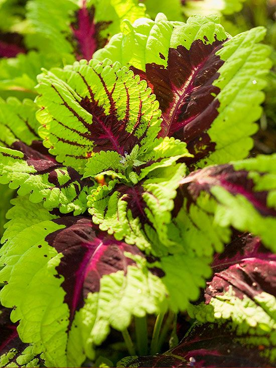 Coleus Shade Loving With Veined Pattern Get Detailed