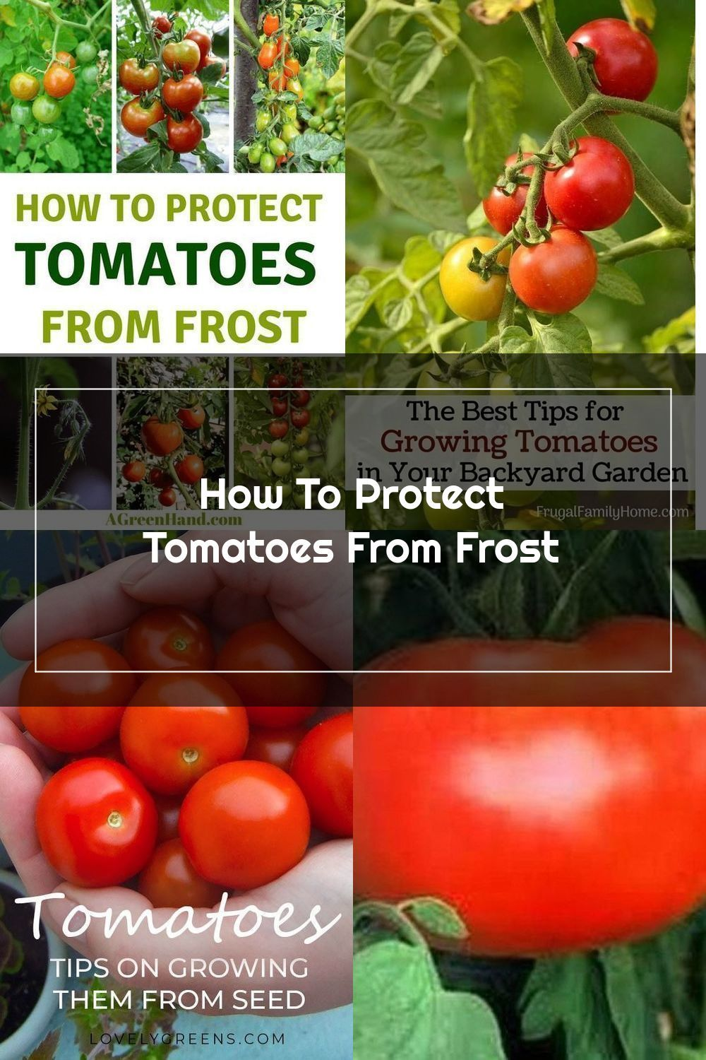 Pin On Growing Tomatoes