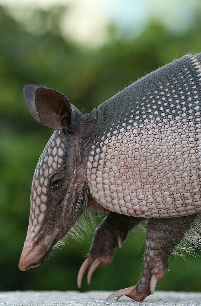 """ Armadillo, Texas (by Patrick Berden) "" We have them in Florida too! EM"