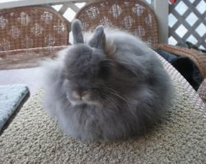 Jersey Wooly Rabbits For Sale In Nj Delightful Darlings