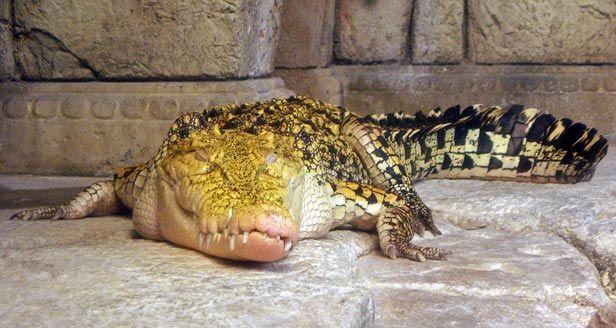 Výsledek obrázku pro hybrid of crocodile