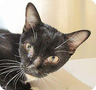 Philadelphia, PA - Domestic Shorthair. Meet Dang (foster care), a cat for adoption. http://www.adoptapet.com/pet/13846003-philadelphia-pennsylvania-cat