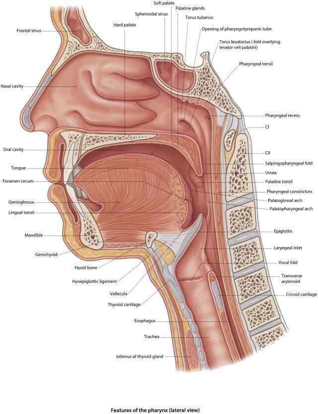 Awake (Sedated) Fiberoptic Intubation - Procedures - Figure 2 : The ...