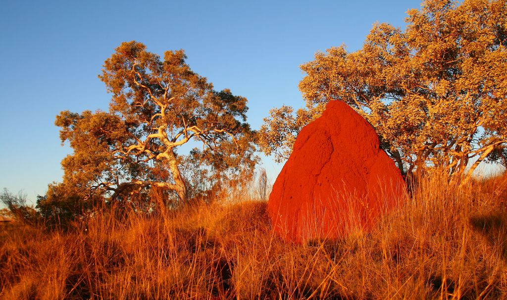 Huge termite hills and Baobab trees in the outback
