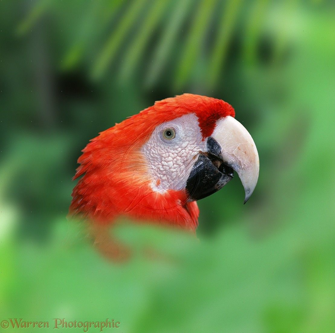 Parrot Ara - exotic in your home