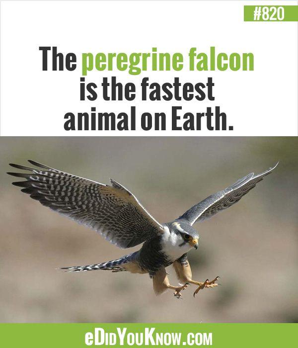 Edidyouknow Com  E  Bb The Peregrine Falcon Is The Fastest Animal On Earth