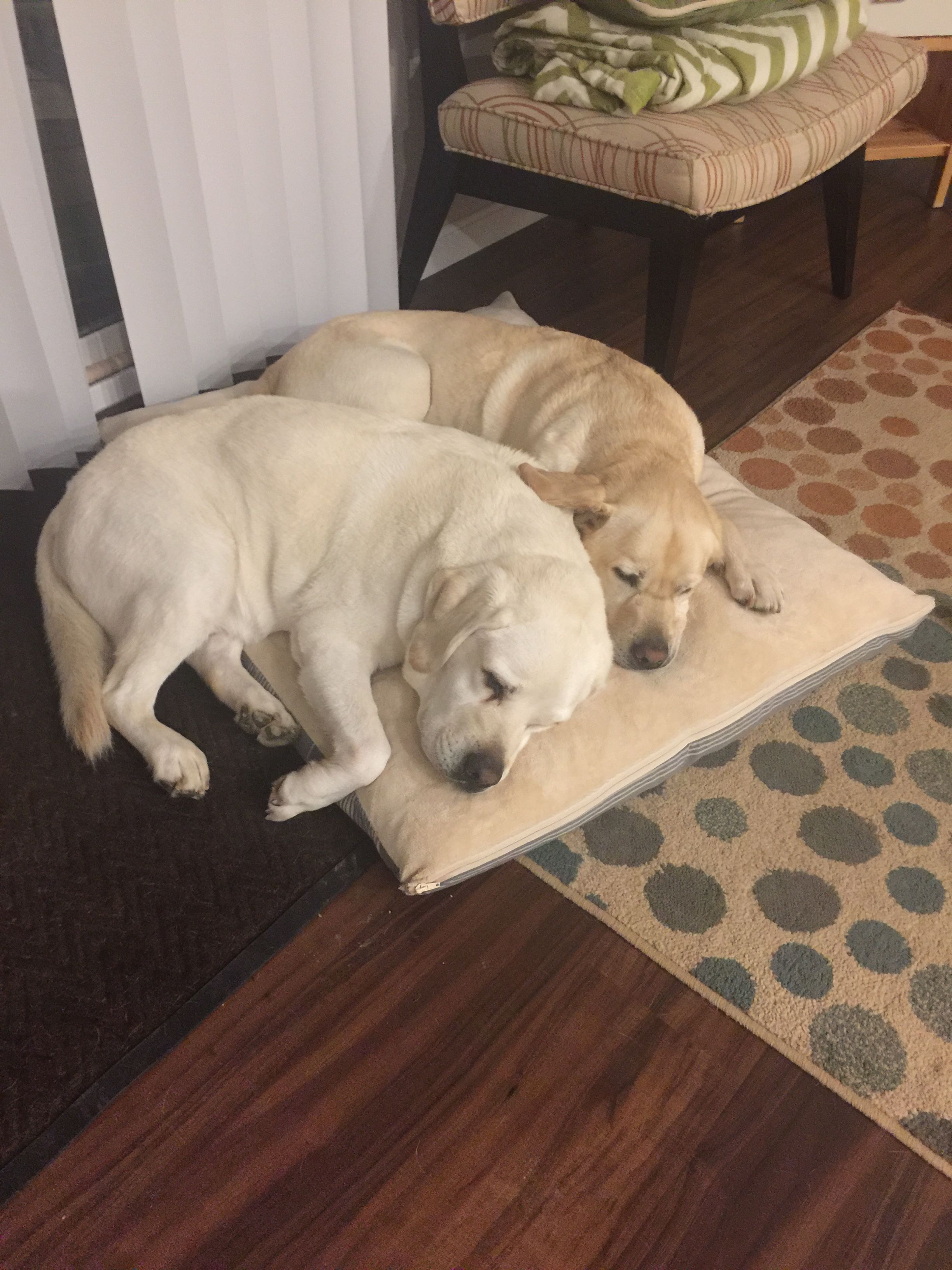 Ditto And Repeate Are Good At Sharing Labrador Retriever