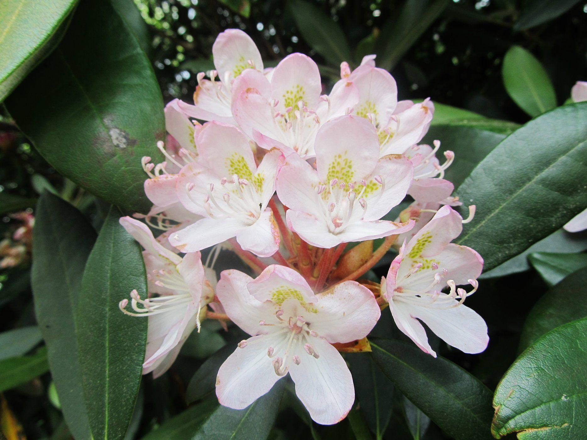 Rhododendron maximum Rosebay Rhododendron Shade plants