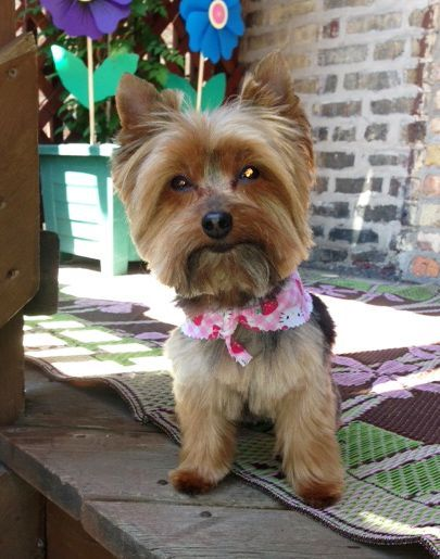Yorkie Haircuts Pictures Yorkshire Terrier For the most