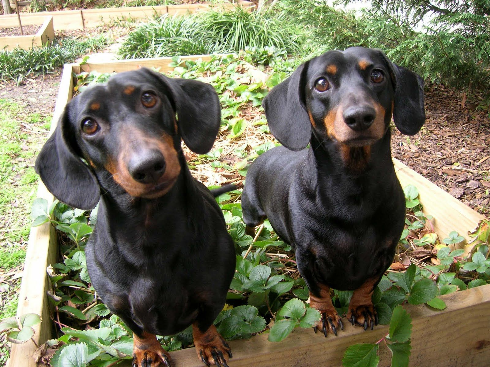 25 Spectacular Animals That Start With The Letter D Dachshund